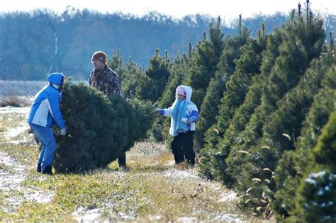 cutting your own christmas tree a fun family outing