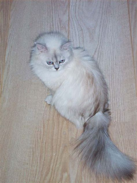 Types Of Haired Cats hair cat breed cats types