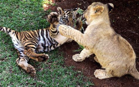 lions and tigers and nurses a nursing novella about lateral violence nursing novellas volume 1 books allm 228 n tr 229 d f 246 r bilder av universell natur sidan 995