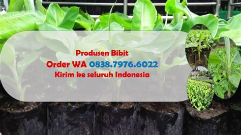 Bibit Pisang Cavendish Di Bali wa 0838 7976 6022 supplier bibit pisang cavendish tanduk