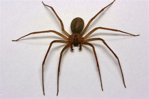 brown recluse image of the wilderness