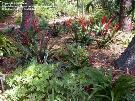 Quail Botanical Gardens Encinitas California Plantfiles Pictures Vriesea Bromeliad Flaming Sword Bromeliad Vriesea Splendens By Lophophora