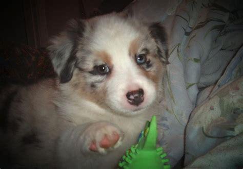 australian shepherd puppy cost miniature australian shepherd puppy jpg hi res 720p hd