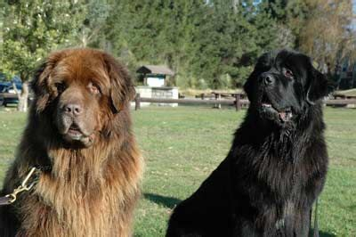 irish setter dogs for sale in bangalore we deal with all kinds of pedigree puppies for sale