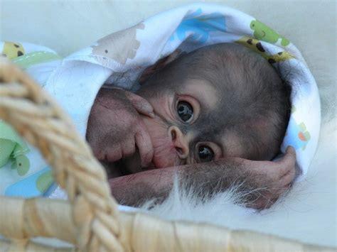 animal doll kit reborn bindi kit by pratt doll supplies orangutan