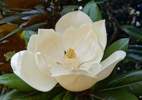 imagenes de flores blancas significado flores blancas amarilis im 225 genes y fotos