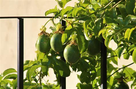 frutto della passione fiore immagini ramo frutta cibo verde produrre