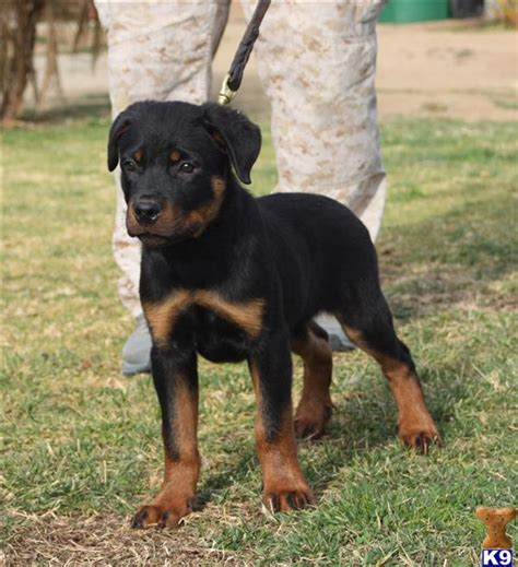rottweiler puppies for sale bakersfield ca document moved