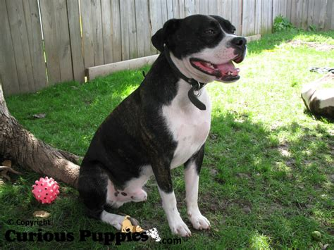 boston terrier mix puppies for sale pug boston terrier cross puppies in coldwater ontario for sale breeds picture