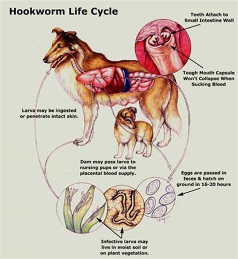 what is hookworm in dogs cutaneous larva migrans