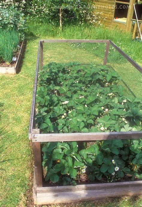 Strawberry Garden Ideas Best 25 Strawberry Patch Ideas On Strawberries Garden Strawberry Garden And