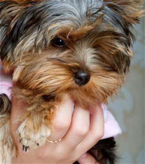 how to clean yorkie ears terrier ear mites signs prevention treatment
