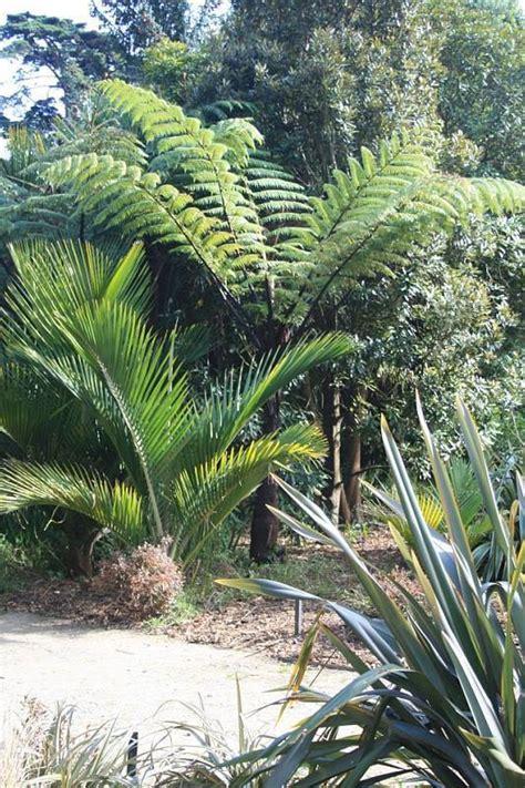 Landscape Design East Bay Plantfiles Pictures Black Tree Fern Korau Mamaku Sago