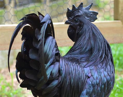 Lamborghini Of Chickens This Chicken Is Totally Black From To Toe Even The