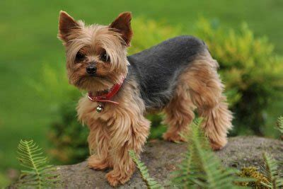 yorkie smartest terrier wee warriors with hearts