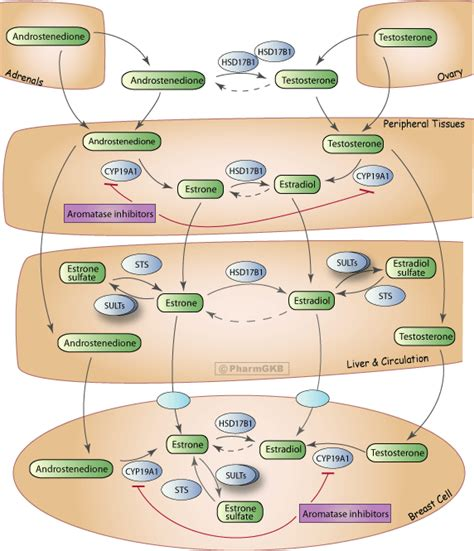 Estrogen Detox Interactions With Psychiatric Medications by Aromatase Inhibitor Pathway Tissues
