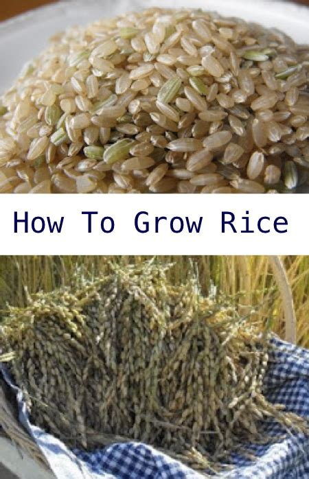 how to grow rice in your garden homestead survival