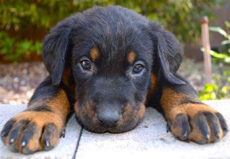 beauceron puppies for sale beauceron puppies www pixshark images galleries with a bite