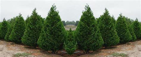 places to cut your own christmas tree in monmouth county nj best places to cut your own tree in la 171 cbs los angeles