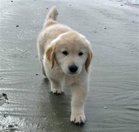 golden retriever bebe golden retriever bebe picture image by tag keywordpictures
