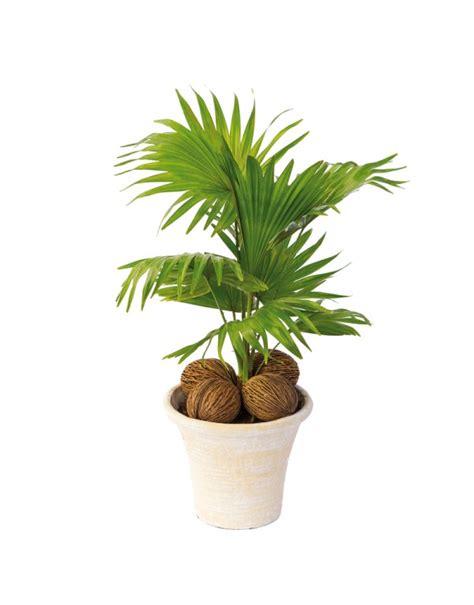 Mini Palmier Exterieur by Petit Palmier En Pot Jardiniere
