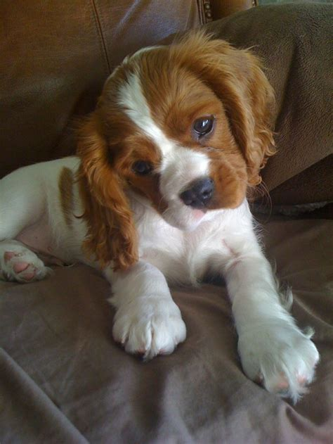 king spaniel puppy 323 best cavalier king charles spaniel images on puppies dogs and