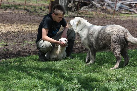 sheep guard dogs working livestock guardian dogs