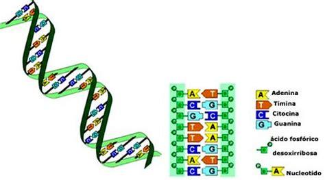 cuantas cadenas de adn tiene un humano biolog 237 a tercer a 241 o tp 1