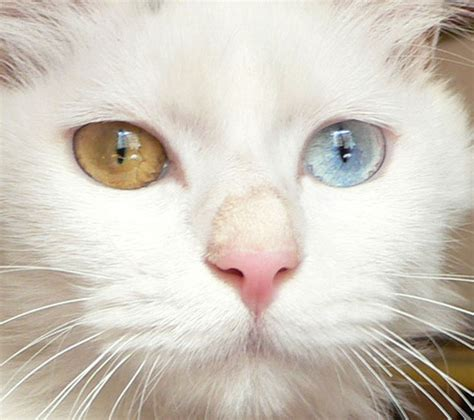 white cat with odd eyes odd eyed cat odd eyed cat is the term used by the