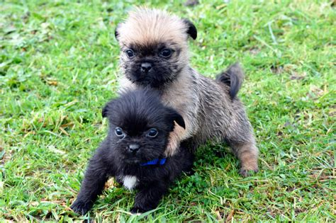 pug x shih tzu puppies for sale maltese cross shih tzu puppies for sale nsw breeds picture