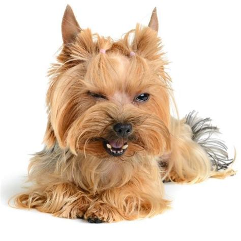 yorkie tips how to an aggressive yorkie tips tricks