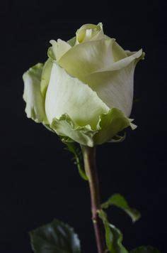 imagenes de rosas maravillosas gif de rosas blancas todo en im 225 genes flores