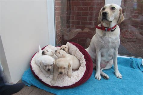 golden labrador puppies for sale golden labrador puppies for sale tiverton pets4homes