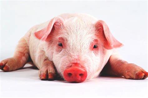 imagenes graciosas de cerdos para navidad 191 qu 233 comen los cerdos