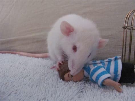 rat killer killer rats