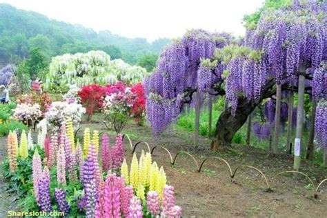 kawachi fuji gardens wisteria flower tunnel japan sharesloth