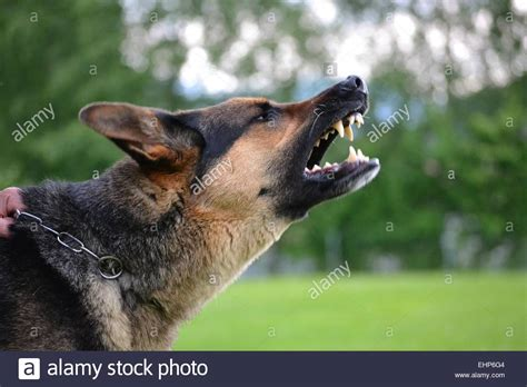 german shepherd barking side of barking german shepherd stock photo royalty free image 79778724 alamy