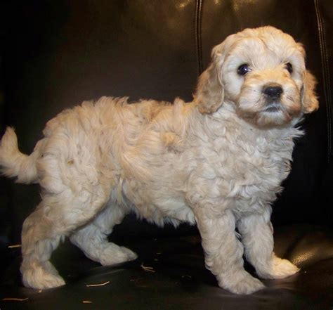 doodle doodle breed doodle breed information pictures more