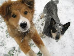 dogs in snow dogs in snow dogs picture