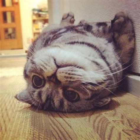 cat instagram scottish fold cat has found fame on instagram 56 pics