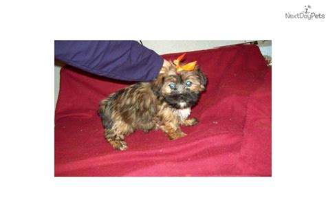 pittsburgh puppies yorkie mix puppies for sale in pittsburgh pa and with it how does retail forex trading