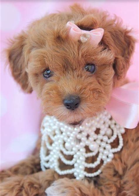 fancy puppy store fancy poodle puppy picture with beautiful necklace jpg