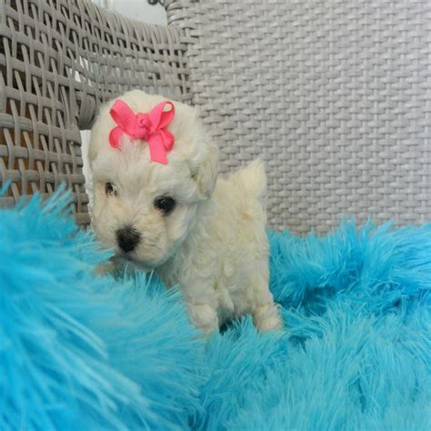 poodle puppies for sale in ga pug chihuahua mix poodle puppies for sale in ga