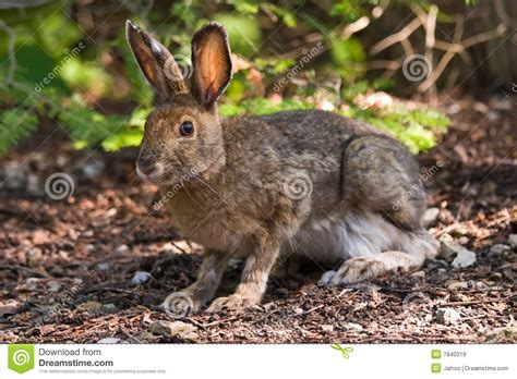 Floor Animals by Snowshoe Hare On The Forest Floor Stock Photo Image 7840318