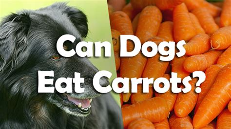 can i feed my puppy carrots can dogs eat carrots pet consider