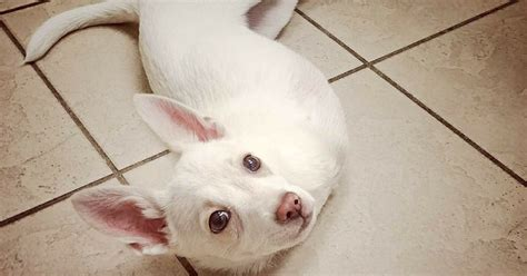special needs dogs special needs rescue saves quot bunny puppy quot who was born without front legs