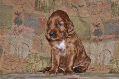 red setter dogs and puppies for sale red setters for sale grimsby lincolnshire pets4homes