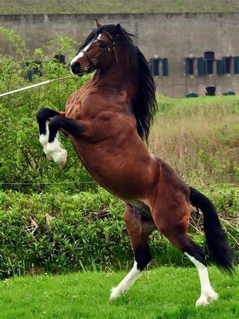 welsh cob section d temperament de 20 b 228 sta id 233 erna om welsh pony p 229 pinterest h 228 star