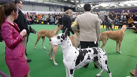 show me pictures of great dane dogs further hypoallergenic miniature great danes 2013 westminster kennel club dog show youtube