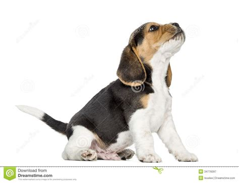 beagle puppy howling beagle puppy looking up stock photos pictures photography breeds picture